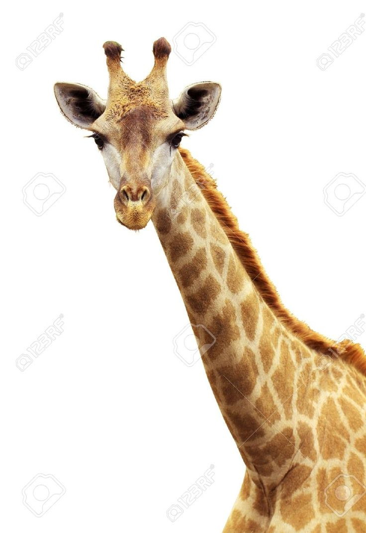best 25 giraffe head ideas on pinterest giraffes baby animals
