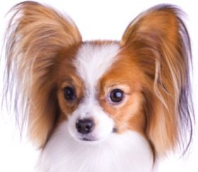 Rare Small Dog Breeds Pictures