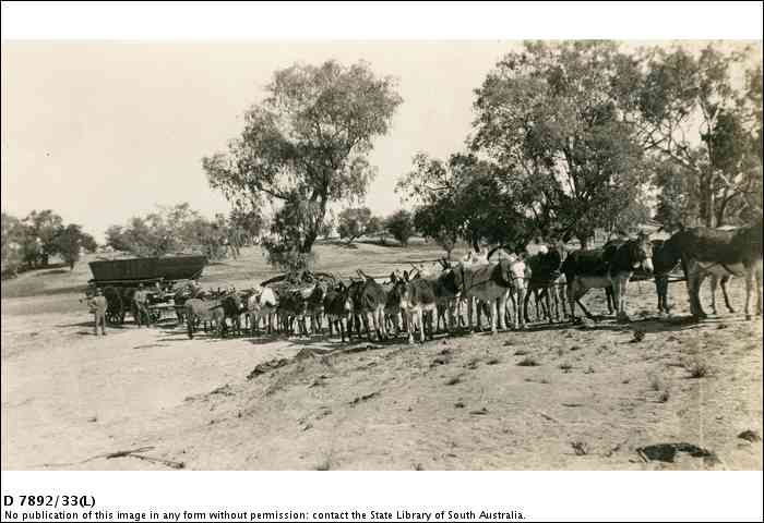 A donkey team at Innamincka with the punt for Cooper Creek 1928