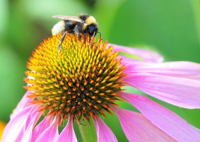 Echinacea posilňuje imunitu. Je účinnejšia ako lieky