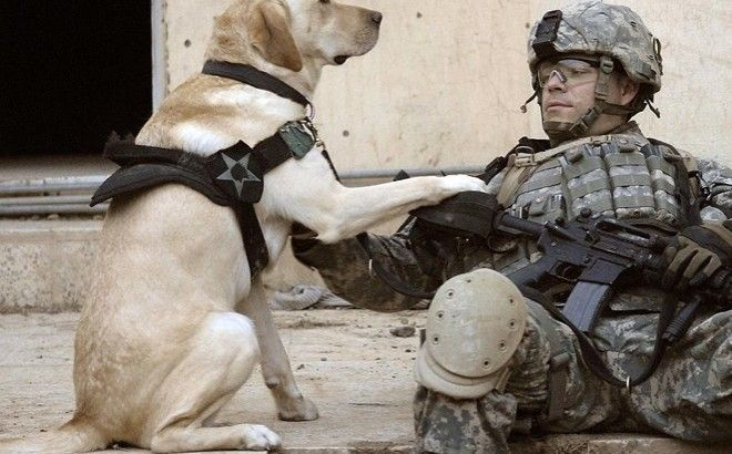 Les chiens de l'armée américaine abandonnés à l'heure de la retraite