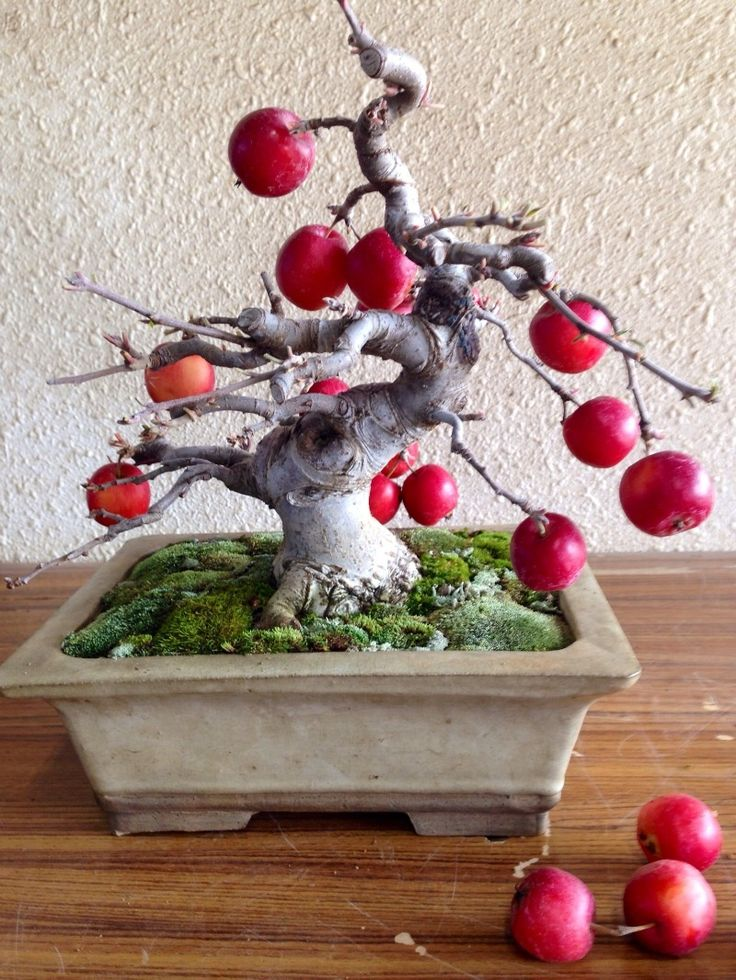 apple bonsai tree