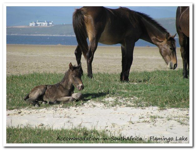 The wild horses at Flamingo Lake. http://www.accommodation-in-southafrica.co.za/WesternCape/Hermanus/FlamingoLakeSelfCateringCottages.aspx