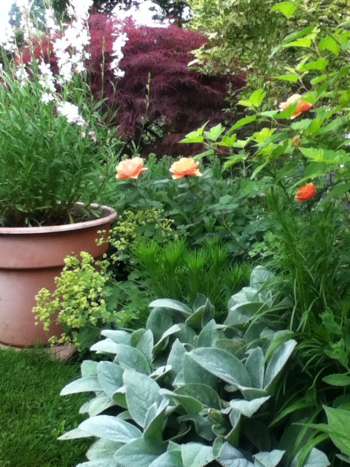 Large Lambs Ear, liatris, lady's mantle and gaura in the pot.