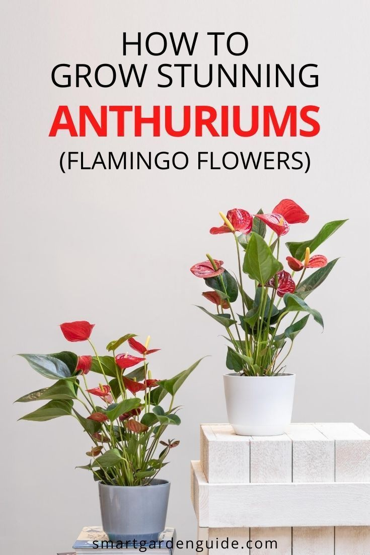 How To Care For Anthurium The Easy Way Flamingo Flower Smart Garden Guide In 2020 Anthurium Indoor Flowering Plants Anthurium Care