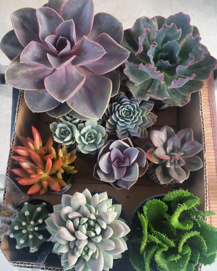 25+ Best Ideas About Purple Succulents On Pinterest