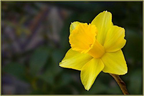 jardin exteriores imagenes : Flores   Narciso