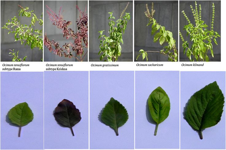 Genome sequencing of herb Tulsi (Ocimum tenuiflorum) unravels key genes behind its strong medicinal properties | BMC Plant Biology | Full Text