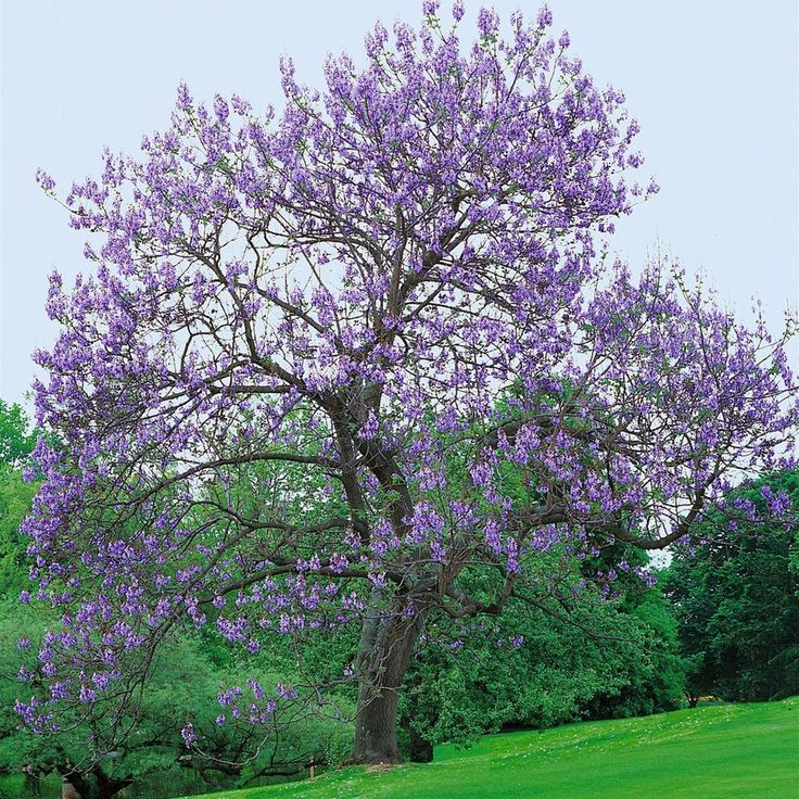 Blauglockenbaum (Paulownia fortunei) Fast Blue®