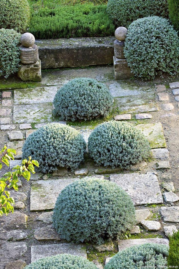 Santolina chamaecyparissus - Santoline taillée en boule