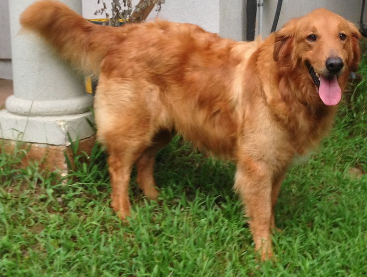 This is Cooper - 6 yrs. He is an owner surrender due to the owners health issues. He is heart worm positive & undergoing treatment. Cooper is neutered & gets along with dog & kids, no cats. He is looking for a forever home & is at Gulf South Golden Retriever Rescue, LA