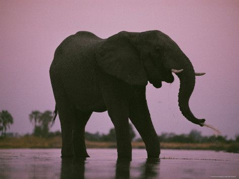 Elephants Roam the Plains of Moremi Game Reserve Photographic Print by Chris Johns at AllPosters.com