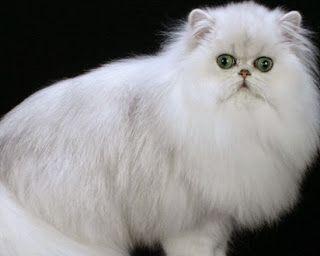 perbedaan kucing jantan dan betina,membedakan,cara membedakan kucing jantan dan betina,dan artinya,warna putih,dalam islam,jepun,