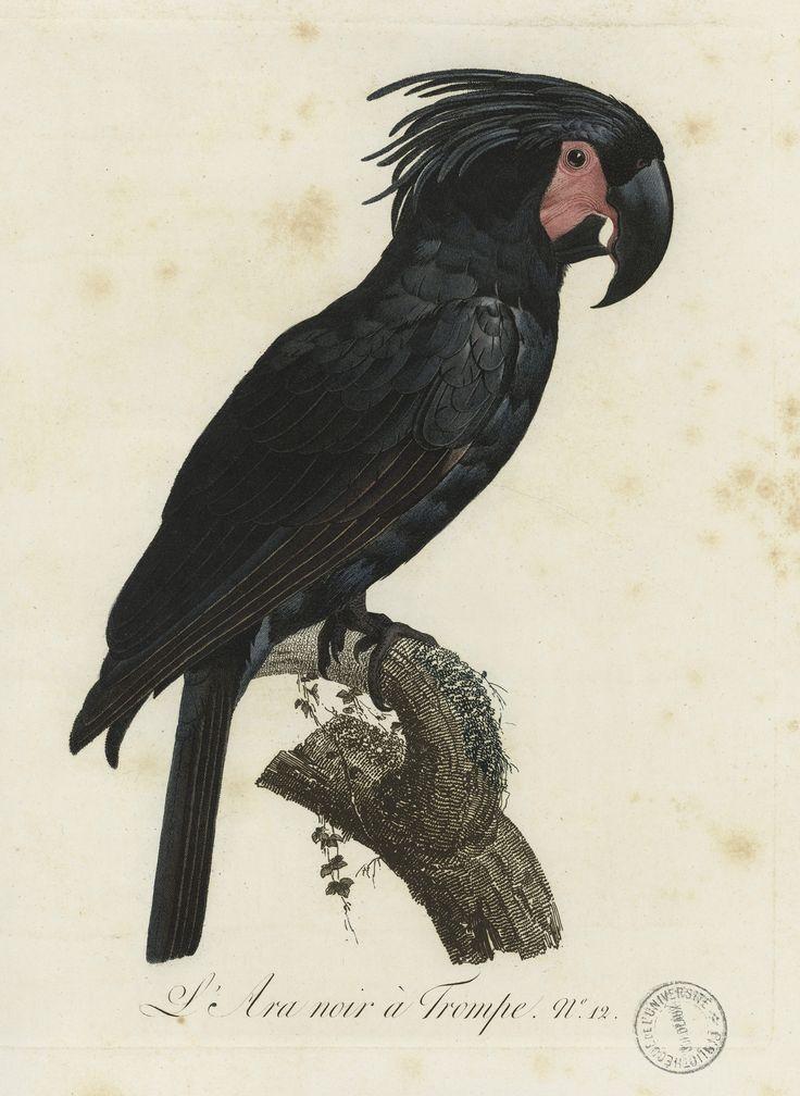 L'Ara noir à Trompe. Pl. 12. Gravure sur cuivre. Par Bouquet, d'après Barraband. Extrait de l'Histoire naturelle des perroquets, par François Levaillant, Paris, 1801. http://www.babordnum.fr/viewer/show/532#page/n64/mode/1up