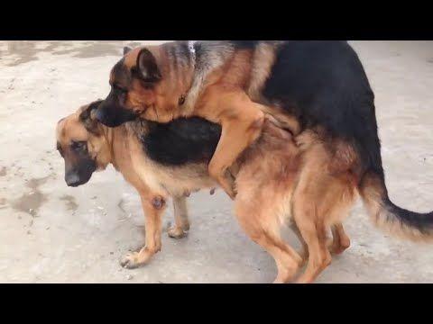 German Shepherd Dog Mating Big German Shepherd Dog Animal Mating 2019 Youtube Dog Lovers Funny Animals Big Dogs