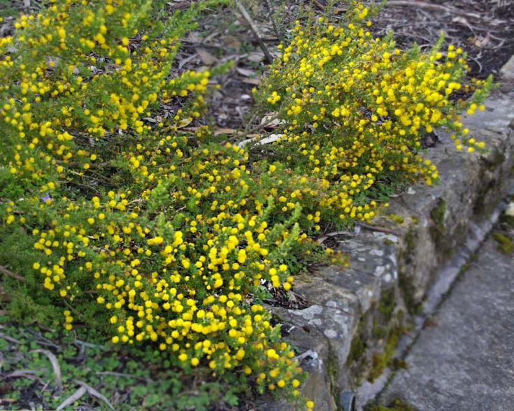 GardensOnline: Acacia guinetii - low growing ground cover