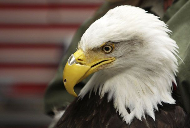 Beauty's bionic beak!Prosthetic Beak, Guns Shots, The Eagles, American Eagles, Bald Eagle'S, Animal Prosthetic,  Haliaeetus Leucocephalus,  American Eagle'S, Bald Eagles