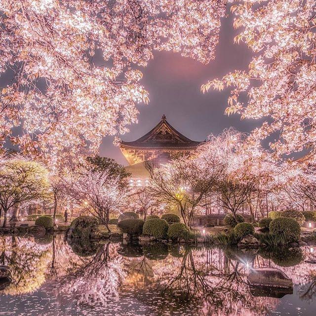 Wonderful Cherry Blossom Season Sakura Tree Cherry Blossom Japan Scenery Sakura Tree