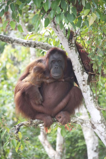Baby clinging to mother orangutan. Photo by David Metcalf