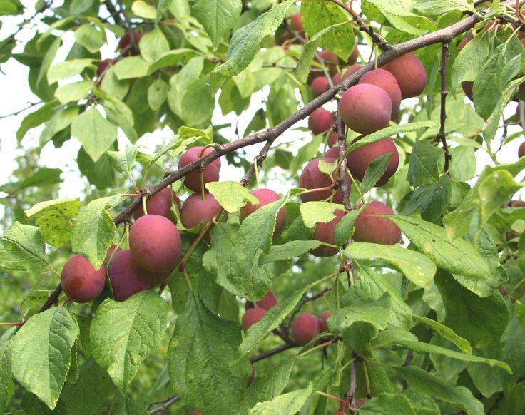 Prunus domestica 'Kuokkala', Mognar i början av augusti. Frukten rödorange-violett, blågrått vaxtäcke. Victoria-typ. Zon III. Bild: Taimistoviljelijät