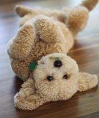 Teddy bear dog. I am so getting one of these!