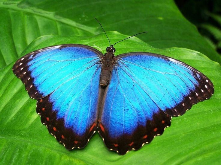 Spiritual meaning of blue butterfly