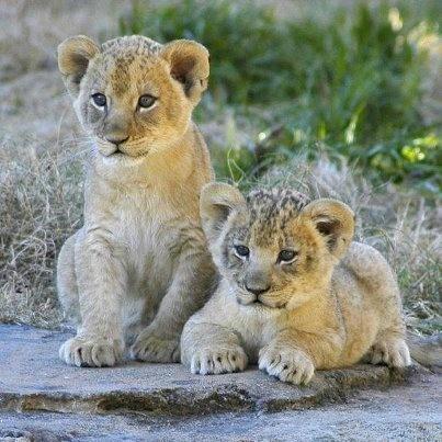 Leones bebes