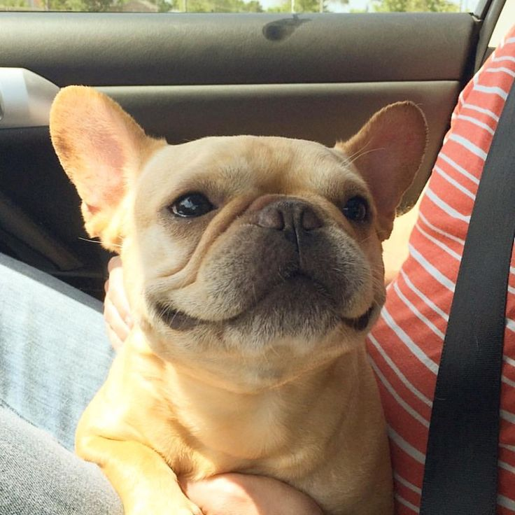 """Hamlin, the hungry French Bulldog, """"Let's play a game""""... """"I spy with my Frenchie Eye"""" ...""""a new commercially zoned building currently occupied by a drive-thru Waffle Hut that appears to be opened AND offering a free RC Cola with Yelp check-in!""""...""""I'll give you three guesses where it is"""" ...""""cause we are SO going there!""""... #hamlin #hamlinthefrenchie #frenchbulldog #whatswithhamlinandwaffles #alwayshungry #ispy #roadtrip"""