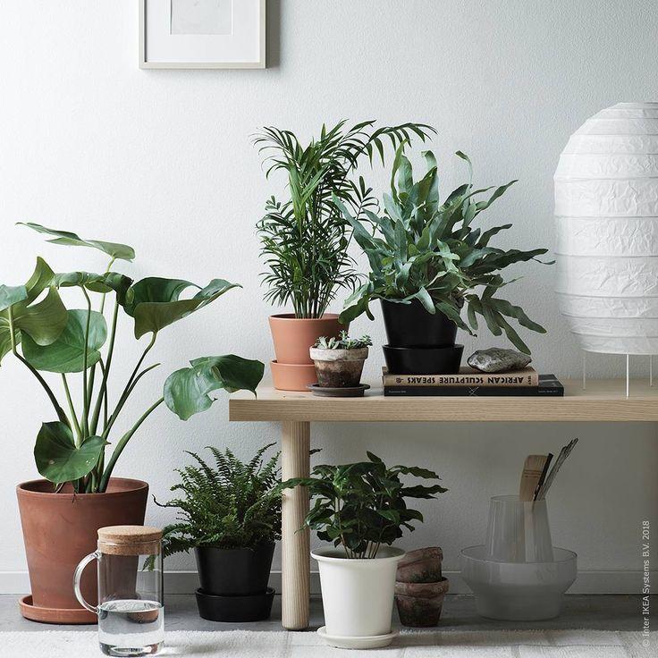 Ut med din barrande gran, in med grönskande blad! Hitta favoritkrukväxterna hos oss. Golvlampan #STORUMAN får gärna lysa upp tills det verkligen ljusnar därute. ⠀⠀⠀⠀⠀⠀⠀⠀⠀ IKEA FAMILY erbjudande på BLADVERK växter t.o.m. 31 januari: köp tre, betala för två (ord. pris 29 kr/st). STOCKHOLM 2017 soffbord 599 kr, STORUMAN golvlampa 129 kr.