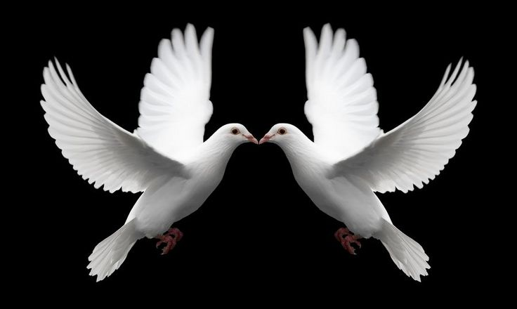 A pair of white doves in flight symbolize love forever and eternal romance.