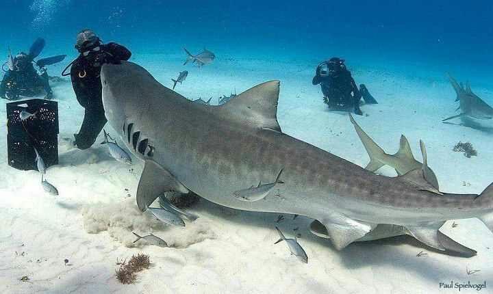 Huge tiger shark!                                                       …