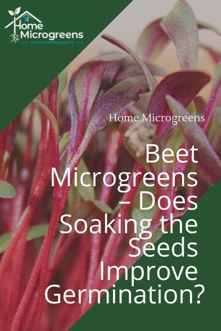 Beet Microgreens Does Soaking The Seeds Improve Germination Microgreens Germination Growing Microgreens