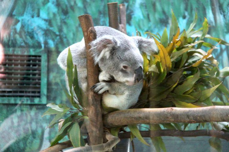 koala w ZOO w Madrycie