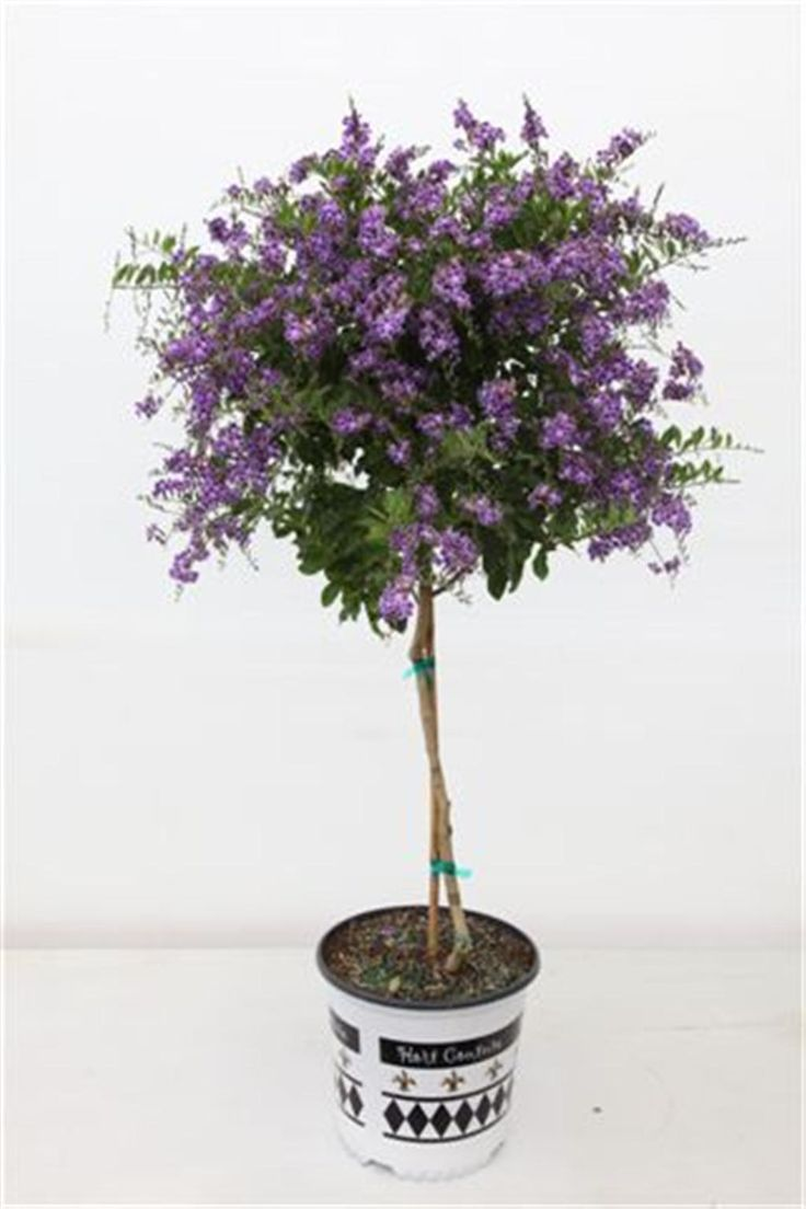 My whole drive way of the house I grew up with, was lined with these. They were close to 10ft tall and beautiful on fall and spring!!!! Duranta (Patio Tree)