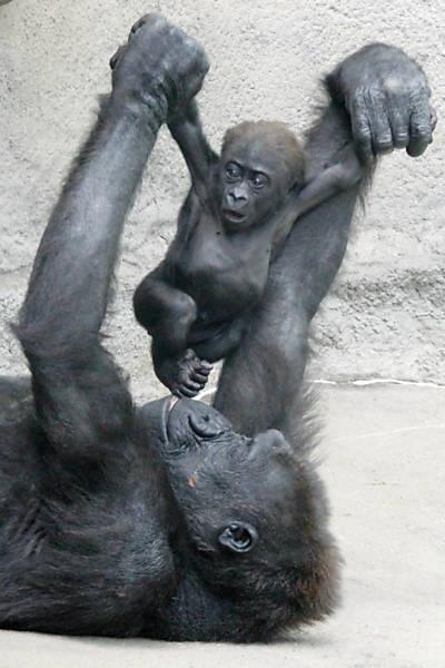 Mamãe gorila brinca com seu filhote em zoo nos Estados Unidos