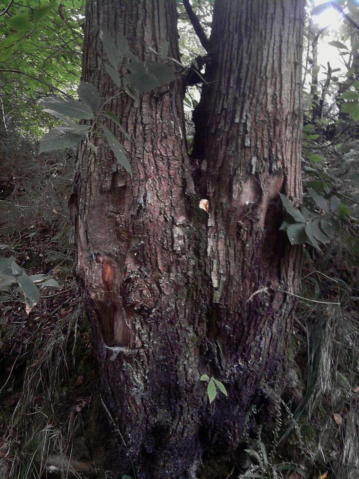 Los gemelos. Unidos por la base del tronco estos dos arboles han crecido a la vez y nos ofrecen un aspecto casi identico.