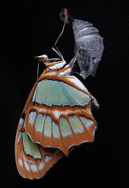 Malachite Butterfly and cocoon