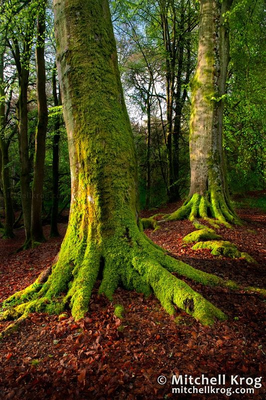 """Sentinels"" Forest Scene | Scotland Landscape Photography by Mitchell Krog on 500px"