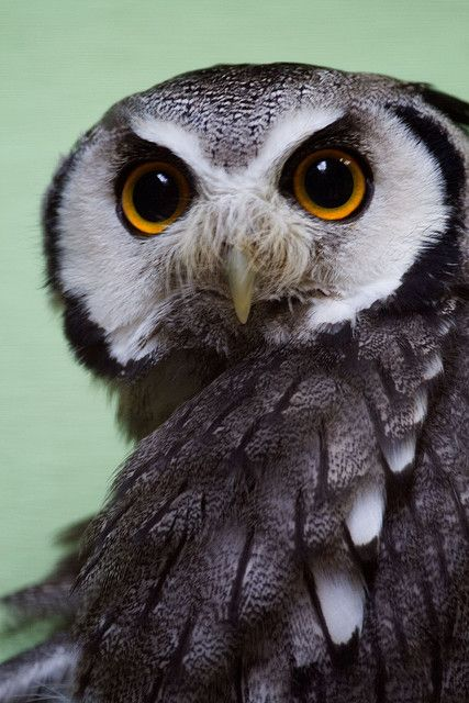 Scops owls are Strigidae (typical owls) mostly belonging to the genus Otus. ops owls in the modern sense are restricted to the Old World, except for a single North American species