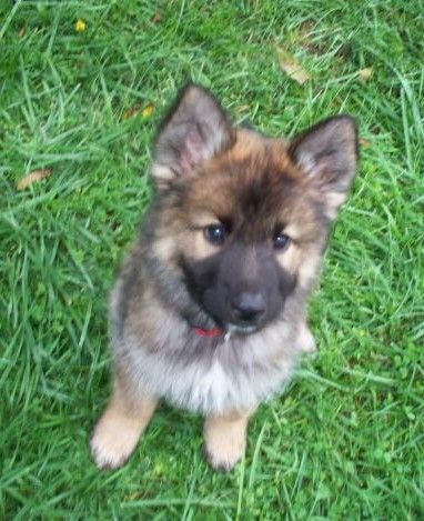 I have found my dream  dog! German Shepard, Husky Mix!!!!