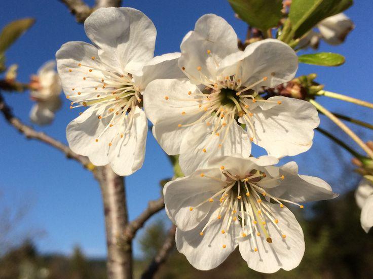 Sour cherries blossoms