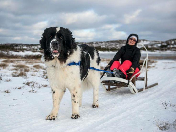 Fogo Island, Newfoundland Dog pulling sled