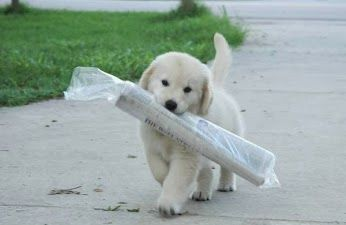 Golden retriever puppy - so cute! HEY GUYS LOOK AT ME I HAVE THE NEWSPAPER