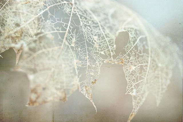 Fragile leaf skeleton