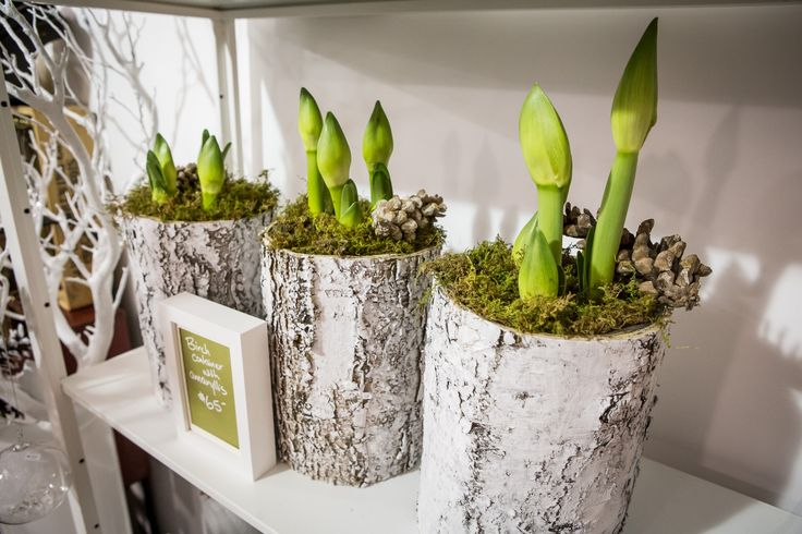 BlogTO's fave things at Union Station Holiday Market 2015. We made #2 !!! Our Birch bark cylinder with amaryllis bulbs. Gorgeous gift !!! #christmas #ontario #toronto #USHM #torontomarketco #unionstationholidaymarket #local #buylocal #ontariogrowers #canada