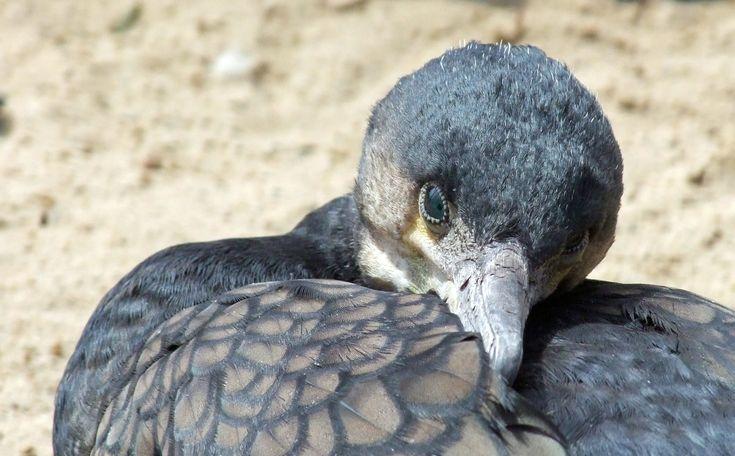 Storskarv Phalacrocorax carbo