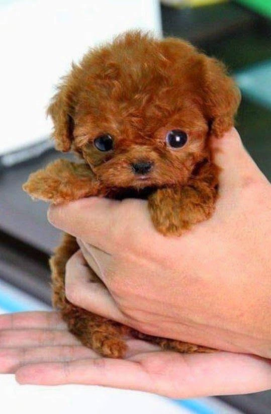 5 Most Amazing Teacup puppies you have ever seen