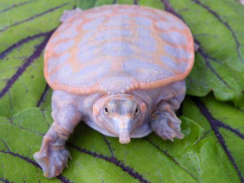 The hypomelanistic Florida softshell turtle(Apalone ferox)