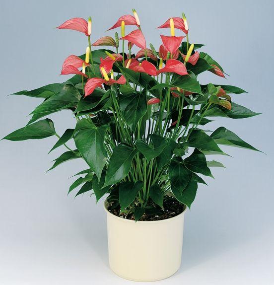 anthurium -- good house plant