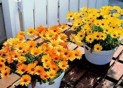 Red hot pokers, orange trumpet vines and gazania daisies all coming into full flower, ready to brighten any cold winters day. http://www.mitchsgardening.com.au/